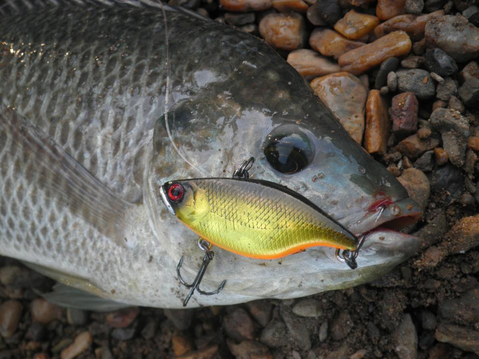 Tilapia Culling Tips - Tackle Land