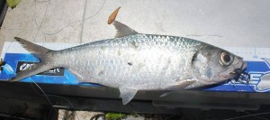 57 - 58cm Tarpon caught by Michael Marshall on a Black and Barred Thing in FNQ. It's a great fish by Aussie standards...