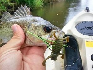 Small Bass on Tiemco Shaky Bug