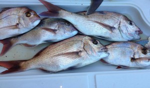 Moreton Bay Snapper
