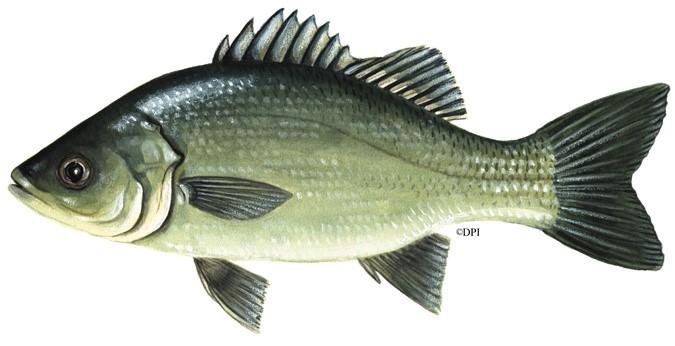 Australian Bass